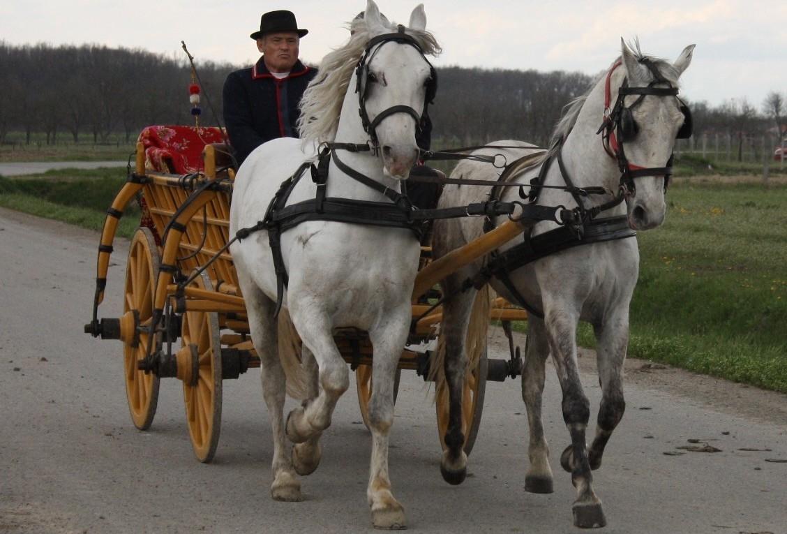 <p style='text-align: justify;'>Jedne godine bilo me je potpuno oduševilo Pokladno jahanje u Čepinu. Prekrasnih konja, živine…čak je i nekoliko mladaca pokušala s njim preskakati kanale, poput preponskog jahanja.</p>